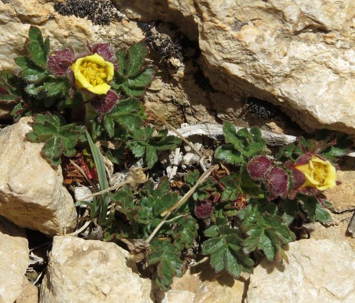 کشف گونه گیاهی جدید از منطقه شکار ممنوع سربند در شمال دامغان